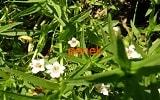 Авран лекарственный, аптечный трава